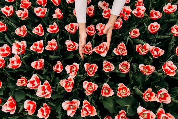 Ręka dotyka czerwony biały tulipan pączek