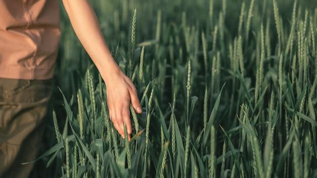 Ręka dotyka kłosów pszenicy na polu