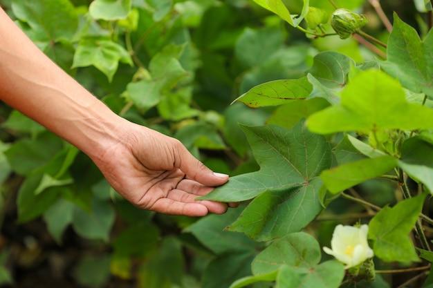 Ręka dotyka liści bawełny w polu