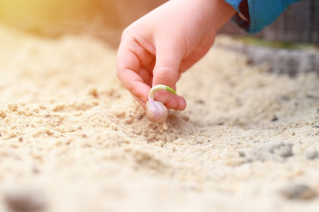 Ręka dzieci sadząca kiełki czosnku w grządce ogrodowej