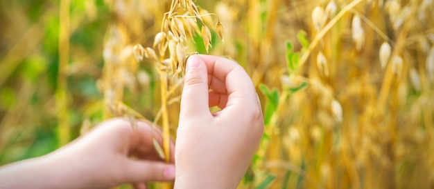 Ręka dziecka trzymającego uszy owsa.