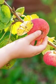 Ręka dziecka zbierając świeże czerwone jabłko z gałęzi drzewa w ogrodzie. zbiór jabłek.
