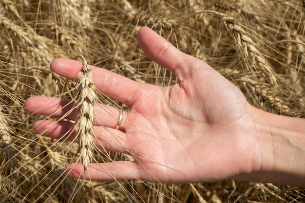 Ręka dziewczyny trzyma kiełki pszenicy w pogodny, słoneczny dzień. koncepcja czasu zbiorów