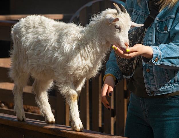Ręka kobiety karmi małe koźlę na farmie koza wyszła na płot