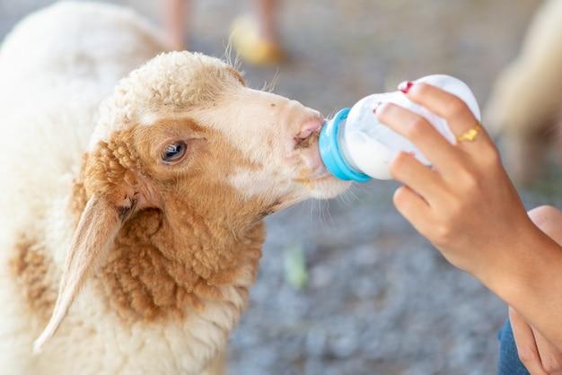 Ręka kobiety karmi owce butelką mleka na farmie. karm małe owce mlekiem karmionym z butelki.
