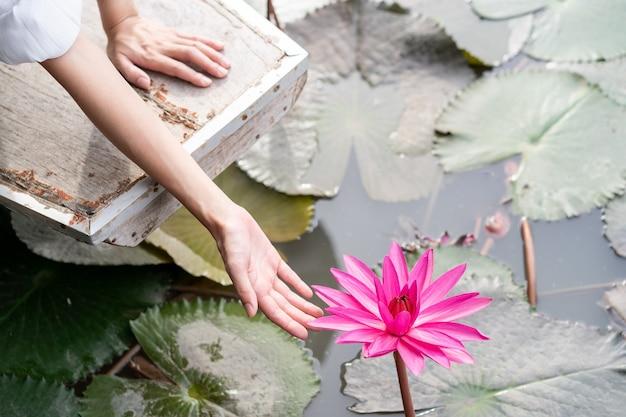 Ręka kobiety z kwiatem różowej lilii wodnej różowy nymphaea lotus na zielony liść w wodzie