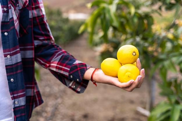 Ręka kobiety ze świeżo zebranych cytryn w polu. koncepcje ekologiczne ogrodów.