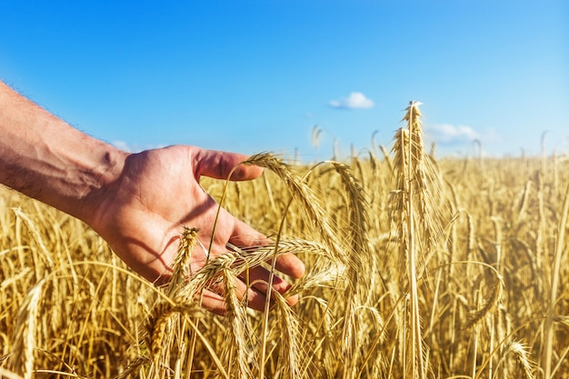 Ręka mężczyzny dotyka złotych kłosków pszenicy na niekończącym się polu o świcie. piękne błękitne niebo. pojęcie zbioru