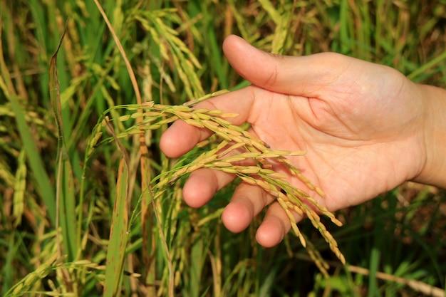 Ręka mężczyzny gospodarstwa dojrzałych ziaren roślin ryżu na polu ryżowym
