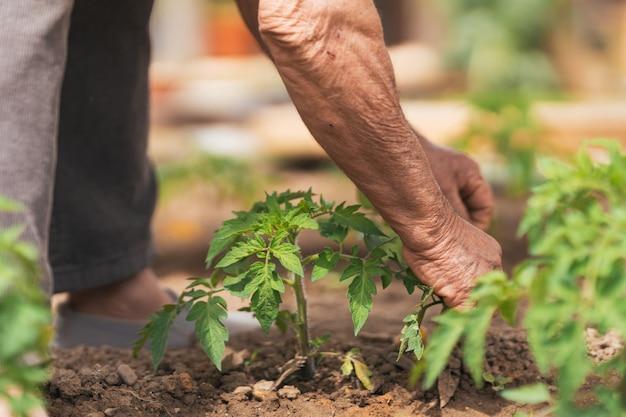 Ręka mężczyzny trzymająca roślinę posadzoną w ogrodzie warzywnym.