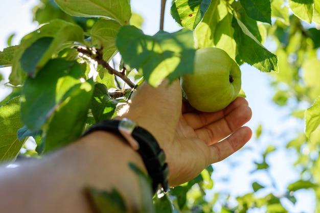 Ręka mężczyzny z zegarem rozrywa dojrzałe zielone jabłko z gałęzi drzewa w słoneczny dzień z bliska w pierwszej osobie