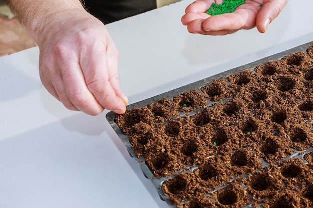 Ręka ogrodnika wysiewająca nasiona pieprzu w ziemi.