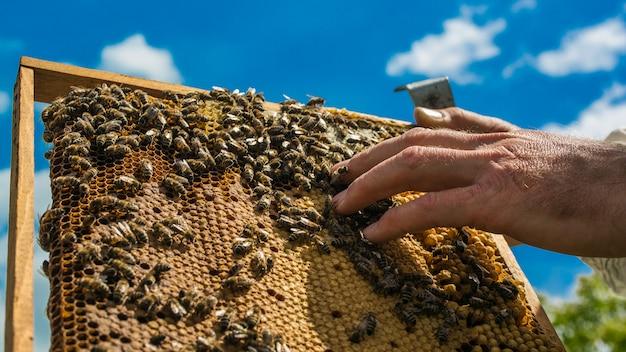 Ręka pszczelarza pracuje z pszczołami i ulami na pasiece. pszczoły na plaster miodu. ramki ula pszczół