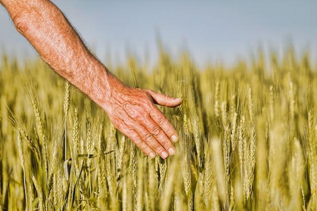 Ręka rolnika dotykającego dojrzałych kłosów pszenicy wczesnym latem. ręka rolnika w polu pszenicy. rolnicze pole pszenicy uprawnej.
