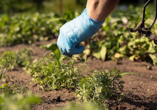 Ręka rolnika pracująca w zielonym ogrodzie warzywnym i wyrywająca chwasty z ziemi
