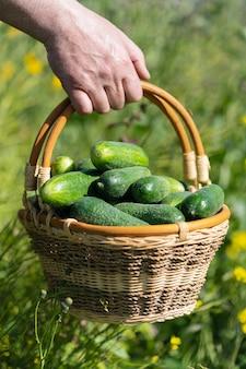Ręka rolnika trzyma wiklinowy kosz ze świeżo zebranymi ekologicznymi ogórkami z upraw