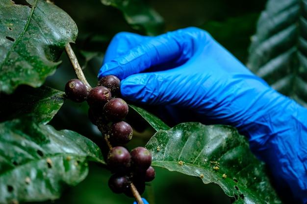 Ręka rolnika w niebieskich rękawiczkach sprawdza przed zbiorem grzyb w surowych ziarnach kawy na gałęzi kawowca