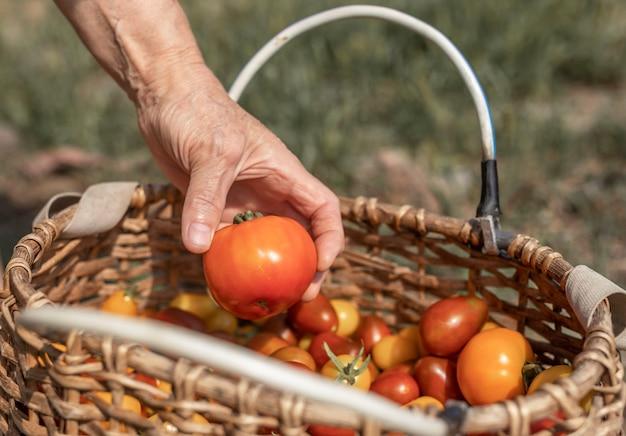 Ręka rolnika z pomidorem na wiklinowym koszu z czerwonymi warzywami