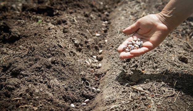 Ręka sadzenia nasion fasoli w glebie.
