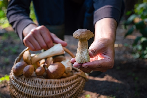 Ręka trzyma boltetus edulis obok pełnego wiklinowego kosza grzybów w lesie.
