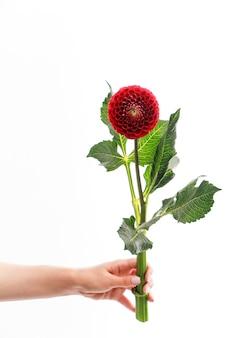 Ręka trzyma czerwony kwiat dalii na białym tle