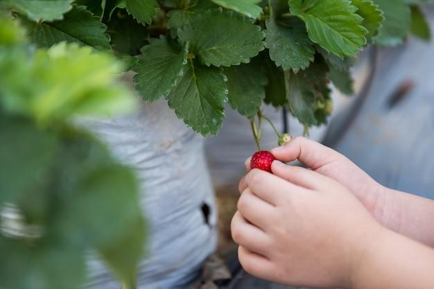 Ręka trzyma dojrzałą czerwoną truskawkę