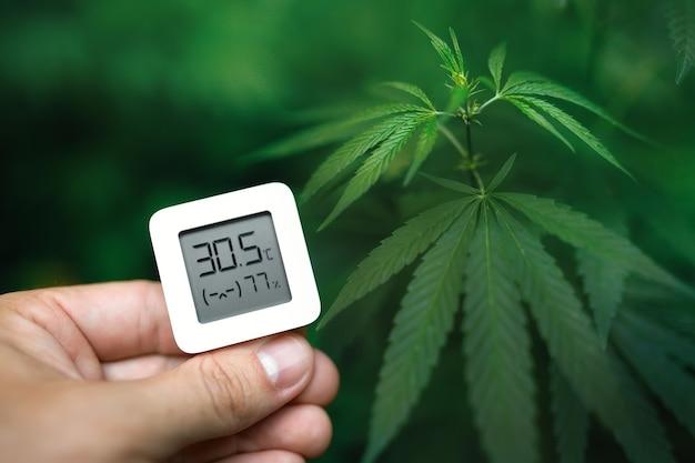 Ręka trzyma elektroniczne urządzenie do pomiaru wilgotności i temperatury na zielonej plantacji konopi. hydrometr-termometr służący do monitorowania wzrostu i rozwoju roślin leczniczych marihuany