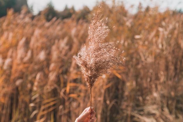 Ręka trzyma gałąź kwiatostanu hierochloe odorata