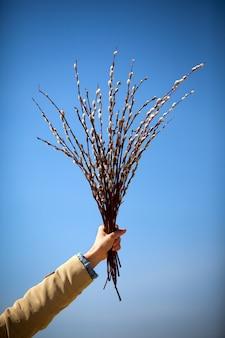 Ręka trzyma gałęzie z kwiatami wierzby na tle błękitnego jasnego nieba