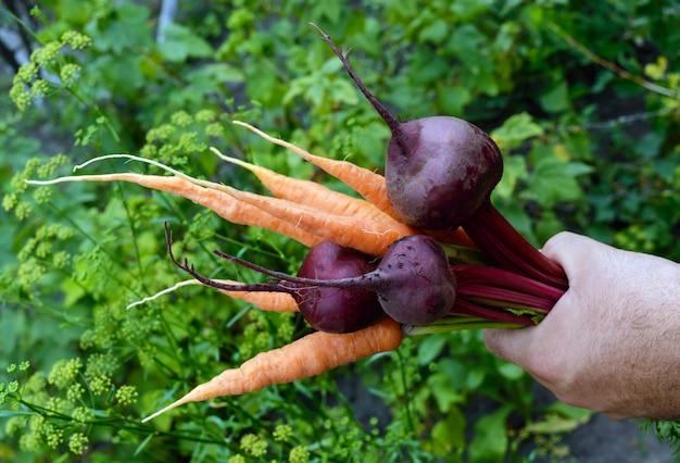 Ręka trzyma garść świeżo zebranych marchewek i buraków na naturze