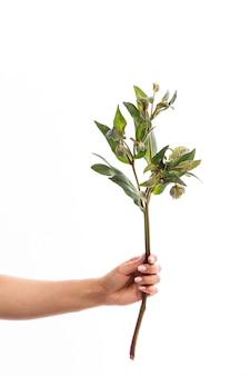 Ręka trzyma jedną gałąź zielonego ciemiernika kwiat izolować na białym tle