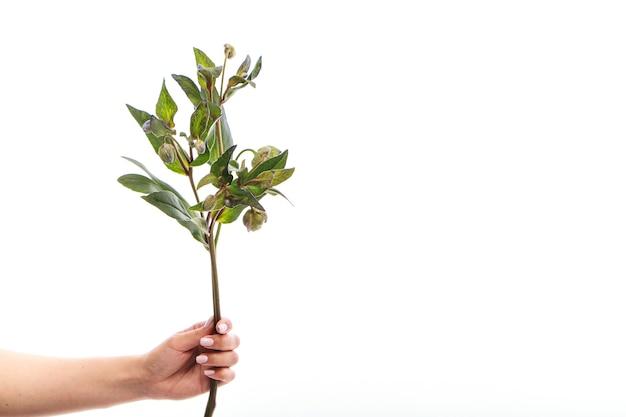 Ręka trzyma jedną gałąź zielonego ciemiernika na białej ścianie