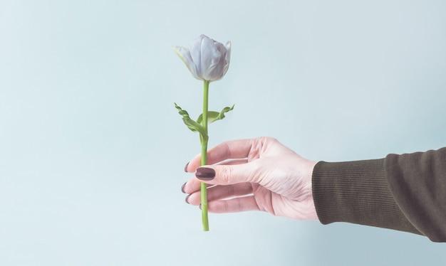 Ręka trzyma lub daje jeden tulipan na zimnym niebieskim tle.