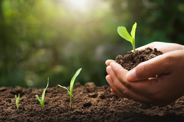 Ręka trzyma młodych kukurydzy do sadzenia w ogrodzie ze wschodem słońca