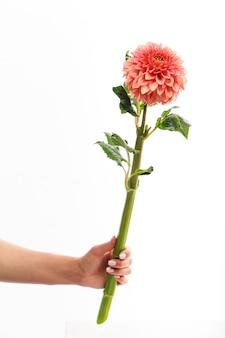 Ręka trzyma pojedynczy różowy kwiat dalii na białym tle