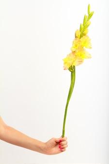 Ręka trzyma pojedynczy żółty kwiat mieczyk na białej ścianie