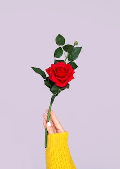 Ręka trzyma śliczną różę