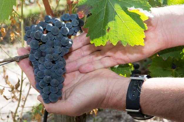 Ręka trzyma świeżą czerwoną kiść winogron w winnicy