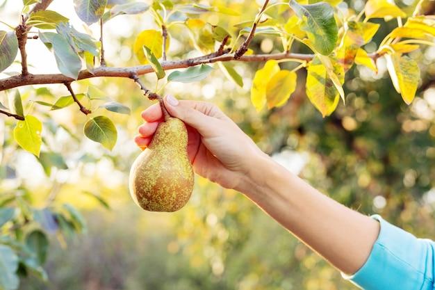 Ręka trzyma świeżą soczystą smaczną dojrzałą gruszkę na gałęzi drzewa gruszy w sadzie na jedzenie