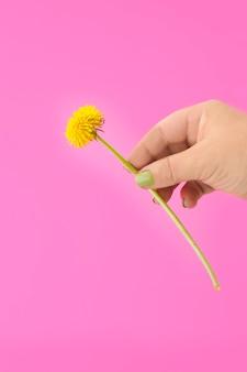 Ręka trzyma żółty kwiat mniszka lekarskiego na różowym tle.