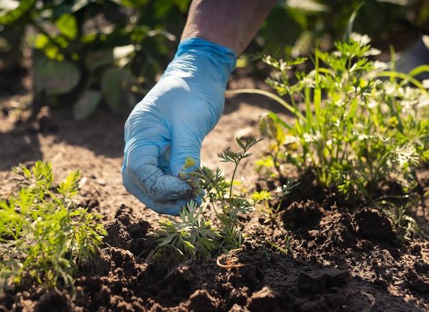 Ręka w niebieskich rękawiczkach do usuwania chwastów z ziemi w zielonym ogrodzie warzywnym w okresie letnim