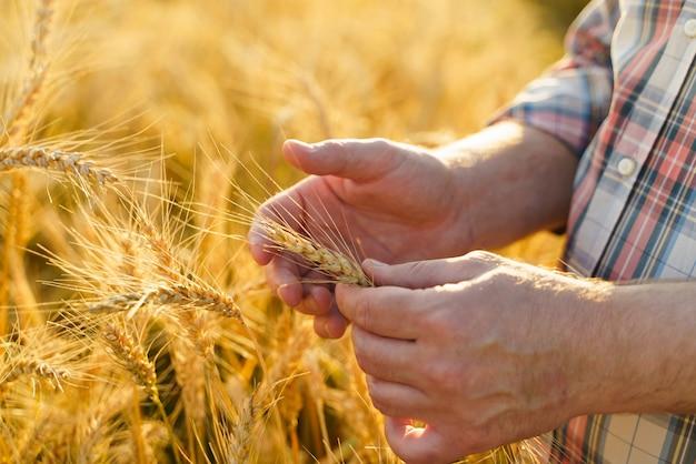 Ręka w polu pszenicy. zbiory i złota koncepcja rolnictwa żywności.