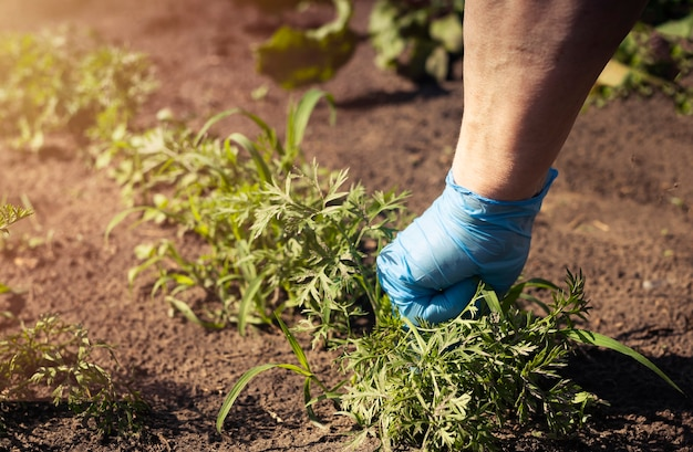 Ręka w rękawice robocze podczas usuwania chwastów na zielonym polu z ziemią latem