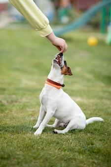 Ręka właściciela daje jedzenie psu jack russell terrier w parku