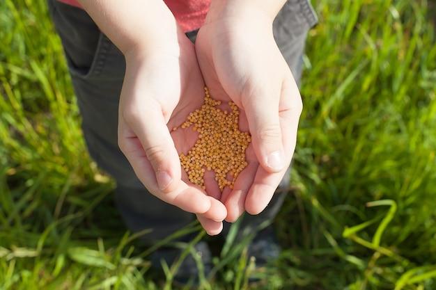 Ręka z nasionami pszenicy rzucania na pole.