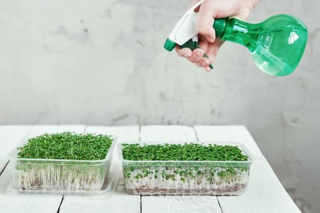 Ręka z opryskiwacza podlewania microgreen. pojęcie zdrowego stylu życia i ogrodnictwa domowego