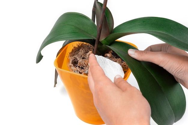 Ręka z wacikiem ociera liść storczyka phalaenopsis w pomarańczowym garnku na białym tle. koncepcja pielęgnacji roślin domowych. skopiuj miejsce. transparent