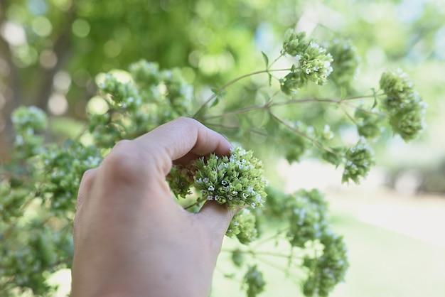 Ręka zbierająca dzikie oregano latem.