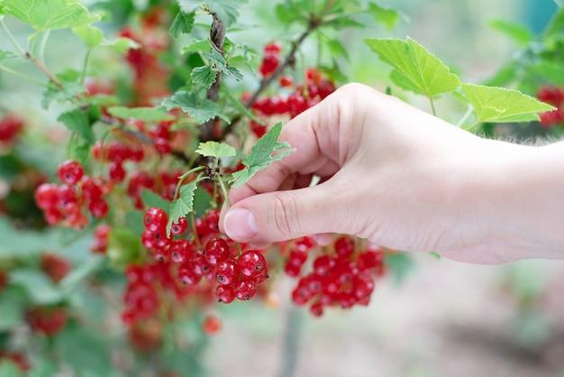 Ręka zbieranie jagód czerwonej porzeczki z krzaka, uprawy jagód w ogrodzie, z bliska.