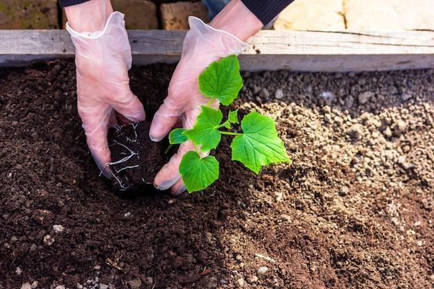 Rękawiczki kobiety sadzą sadzonki ogórka w ziemi w ogródku warzywnym